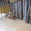 #chihuahua #pies #SzczenięDog #Solo
