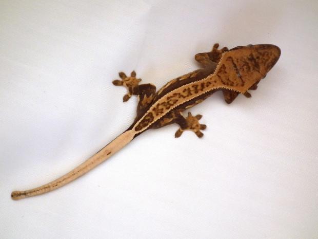 #CorrelophusCiliatus #CrestedGecko #GekonOrzęsiony #Kronengecko #RhacodactylusCiliatus