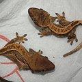 #CorrelophusCiliatus #CrestedGecko #GekonOrzęsiony #hatchling #Kronengecko #młody #pinstripe #RhacodactylusCiliatus #young