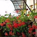 tak jeszcze mam na balkonie - 30 listopad - za oknem tylko 1 na plusie, straszą śniegiem, więc nie wiem co z nich zostanie z nich jutro :)) #balkon #jesień #kwiaty #pelargonie #rudbekie