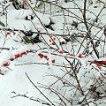 Zima #jemiołuszka #kos