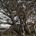 Eukaliptus z Parku Kosciuszki #gory #ludzie #natura #przyroda
