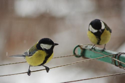 #sikorki #ptaki #zima