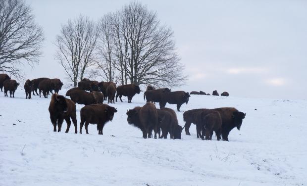 Bizony w zimowej szacie na polu w Kwitajnach Wielkich (gmina Godkowo)