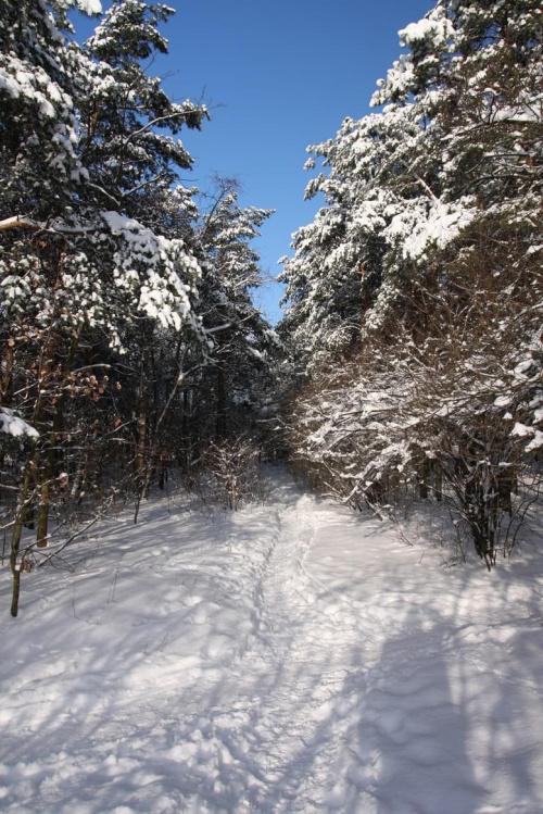 las zimą #las #zima