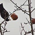 kos- akrobata #ptaki #zima #kos