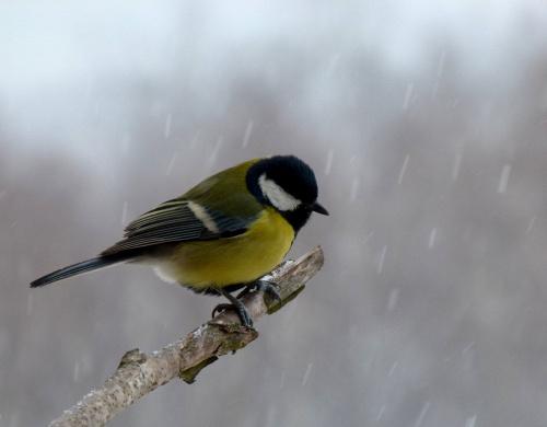 sikorkowa sesja ... :)) #bogatki #NaBalkonie #ptaki #sikorki #ZaOknem #zima