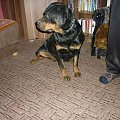 #DoAdopcji #fundacja #pies #pomoc #pomorska #Prada #rottka #rottweiler #suka