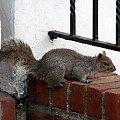 Wszędobylskie wiewiórki szare #wiewiórki