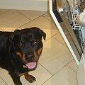 #adopcje #pies #prada #rottka #rottweiler #suka