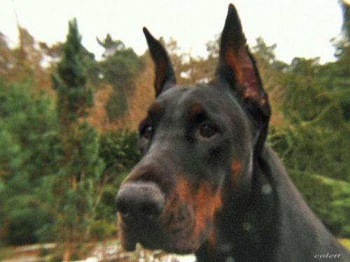 ... uroda życia #doberman #natura #pies #zwierzęta