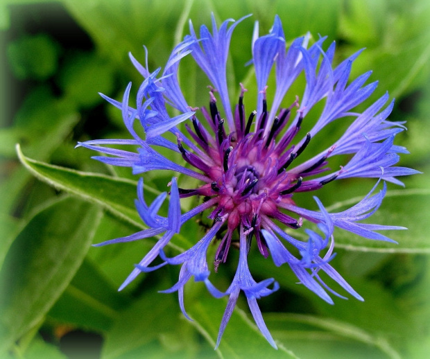 dla odmiany, troszkę szufladowych ... :)) #kwiaty #lato #ogród #chabry