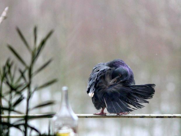 #gołębie #NaBalkonie #ptaki #zima