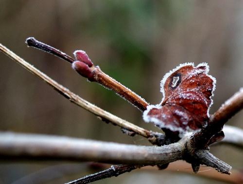 mrozik tu był ... :) **** ulub. krfkoza **** #ogród #szron #zima #liście #głóg