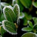 mrozik tu był ... :) #ogród #szron #zima #liście #bukszpan