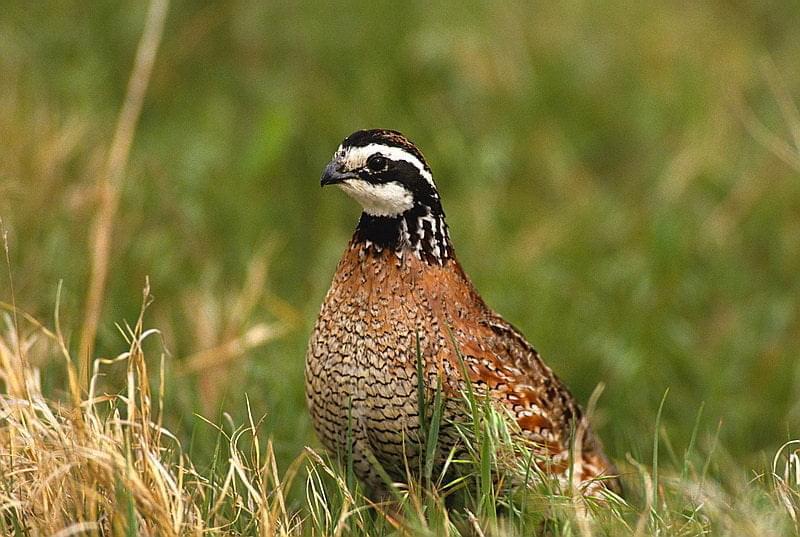 quail bird flying