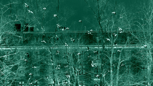 Dla Gonzki - gołębie w locie nad Parkiem Krakowskim