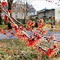 pachnie wiosną :) **** ulub. ewawardzala **** #krzewy #kwiaty #oczary #przedwiośnie #WParku