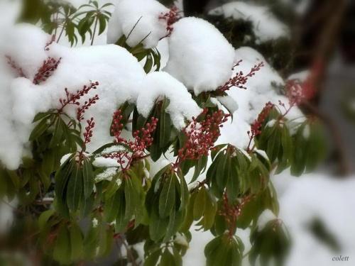 Pieris dla Gosi 'goochass' - dla odmiany pada śnieg ...