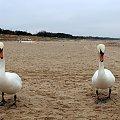 łabądkowe ukłony ze Świnoujścia ... #łabędzie #plaża #ptaki #Świnoujście #zima