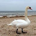 łabądkowe ukłony ze Świnoujścia #łabędzie #plaża #ptaki #Świnoujście #zima