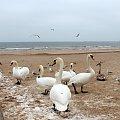 łabądkowe ukłony ze Świnoujścia **** ulub. takik **** #łabędzie #plaża #ptaki #Świnoujście #zima