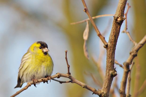 #ptaki #marzec #czyżyk