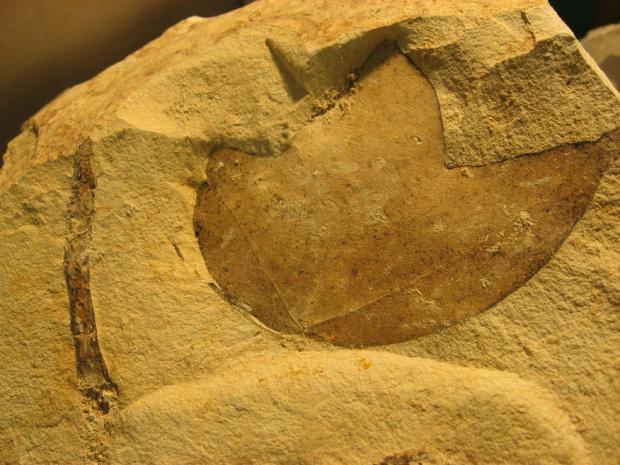 Liść skamieniały, Słowacja #minerały