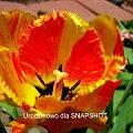Wiosny, uśmiechu i szczęścia, radości każdego dnia oraz wszelkiej pomyślności. #tulipan
