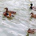 taki okaz mi się dzisiaj trafił :)) #kaczki #Kłodnica #krzyżówki #mandarynka #ptaki #rzeka