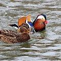 czy ten pan i pani, są w sobie zakochani ... :)) ??? #kaczki #mandarynki #ptaki #rzeka #wiosna
