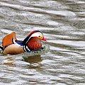 czy ten pan i pani, są w sobie zakochani ... :) **** ulub. gonzki **** #kaczki #mandarynki #ptaki #rzeka #wiosna, Kłodnica