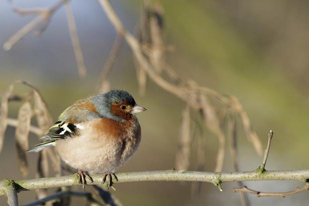 #ptaki #zięba