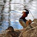 czujny pan mandarynek :) #kaczki #mandarynki #NadWodą #ptaki #wiosna