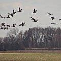 #kwiecień #natura #pola #ptaki #żurawie