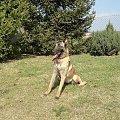 Frida www.rottka.pl #rottka #rottweiler #rottweilerom #adopcje #belgi