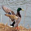 #kaczki #kaczorki #krzyżówki #NadWodą #ptaki #wiosna