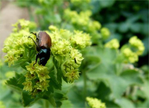 żuczki wszelkiej maści ... (z poprzedniego sezonu) #lato #ogród #żuczki