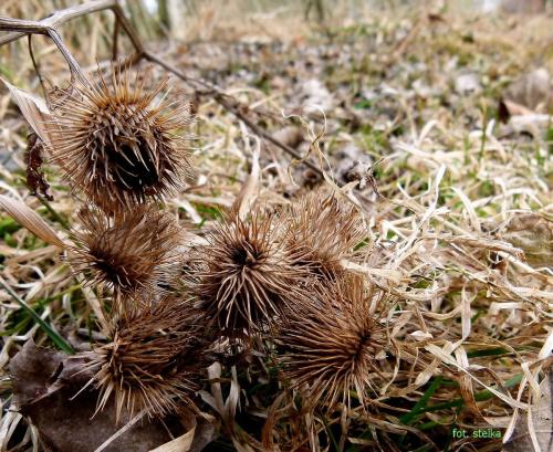 nasionka ... #jesień #nasiona #osty #suszki