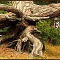 W korzeniach i w obłokach przy odrobinie wyobraźni można dostrzec ...... #drzewa #sosny #las #NadMorzem