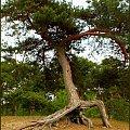 Ta sosna szykuje się do drogi #drzewa #sosny #las #NadMorzem