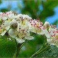 Aronia czarna ... jeszcze biała i zmoknięta :) #AroniaCzarna #kwiat #krzew #ogród #przyroda