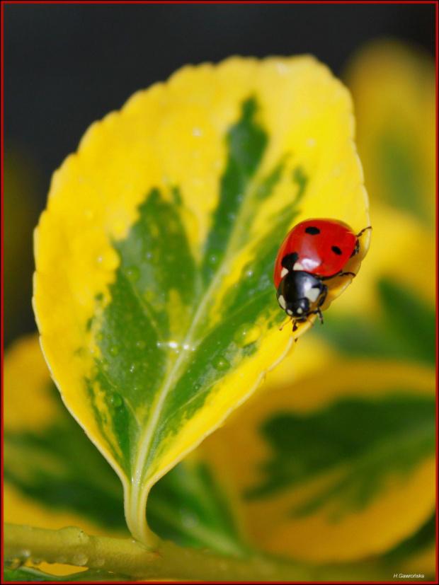 W kropki i nie tylko ... wiosna nas rozpieszcza :) #Biedronka #owad