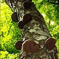 A można i na grzyby. Na grzyby - w aromatów pełen las ... :) #Park #brzoza #huba