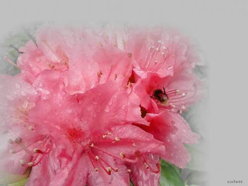 #kwiaty #maj #ogród #rododendron #wiosna