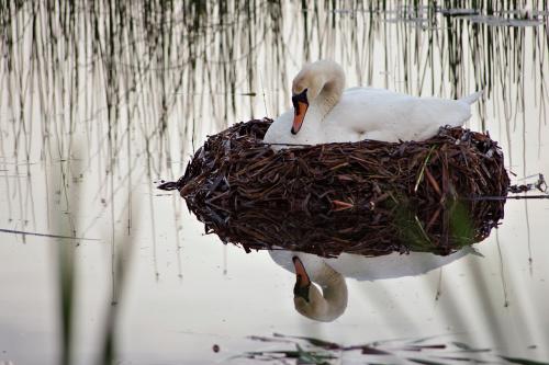 a tu jeszcze będą (żeby tylko pływały blisko...) #łabędzie #ptaki
