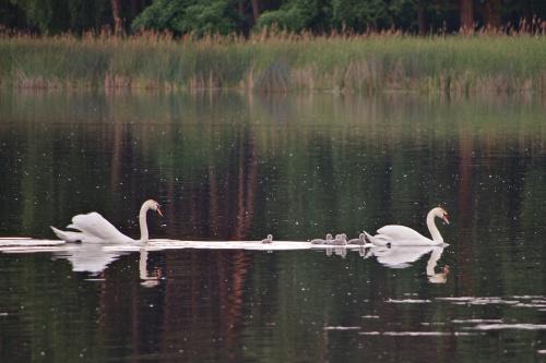 bardzo daleko, więc takie sobie, ale są :) #łabędzie #ptaki