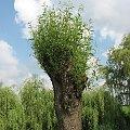 Wierzby odrastają po obcięciu gałęzi na opał #wierzba