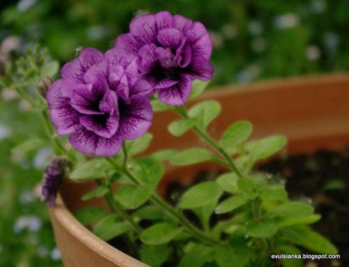 Kwiaty w moim ogrodzie, moje ulubione kolory:) #kwiaty #ogród