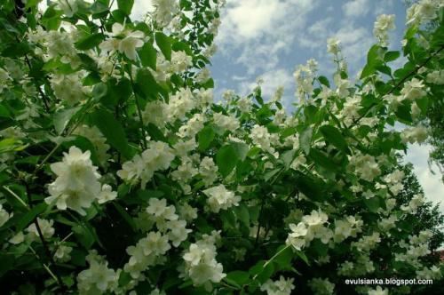 Jaśmin w moim ogrodzie ale pachnie :) #goździki #jaśmin #poziomka